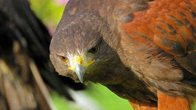 Harris Hawk closeup Arkivbild