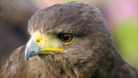 Harris Hawk closeup Arkivbilder