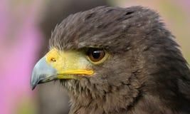 Harris Hawk closeup Royaltyfria Bilder