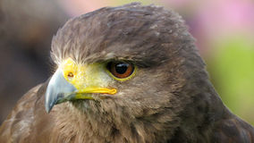 Harris Hawk closeup Stock Images