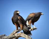 Harris Hawk dans Tucson, Arizona Photo stock