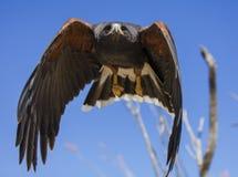 Harris Hawk, der direkt in die Kamera fliegt Lizenzfreie Stockbilder