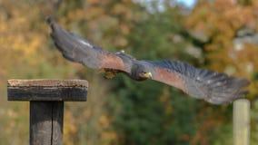 Harris Hawk die van een toppositie vliegen stock afbeeldingen