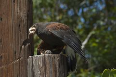 Harris`s Hawk eats a mouse on a log at the LA zoo bird show royalty free stock image