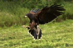 Harris Hawk - Ecuador - South America Stock Image