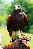 Harris Hawk en main Photos libres de droits