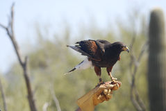Harris Hawk with Falconer. Harris Hawk from Arizona-Sonora Desert Museum with Falconer Royalty Free Stock Photo