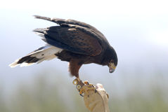Harris Hawk with Falconer 2. Harris Hawk from Arizona-Sonora Desert Museum with Falconer Stock Image