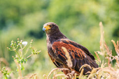 Harris Hawk in a field Royalty Free Stock Images
