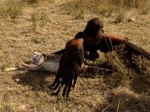 Harris' Hawk Fighting Prey. Harris' Hawk arabuteo unicinctus hunting hare on San Felipe Guanajuato Royalty Free Stock Image