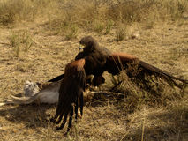 Harris Hawk Fighting Prey Stock Photography