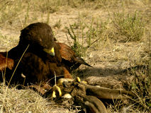 Harris' Hawk Fighting Prey Stock Photos