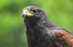 Harris Hawk, fim acima do retrato Fotos de Stock Royalty Free
