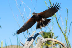 Harris hawk fixing to land on branch Royalty Free Stock Photography