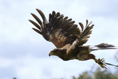 Harris Hawk in flight Stock Photos