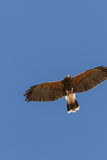Harris Hawk in Flight Royalty Free Stock Photos