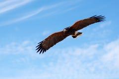 Harris Hawk in flight Royalty Free Stock Image