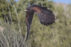 Harris Hawk. In flight; Arizona Sonoran Desert Museum, Tucson Arizona USA; www.grayfoxxpixx.com; Carol Gray Royalty Free Stock Photography