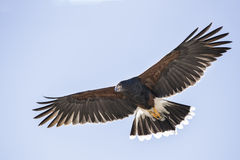 Harris Hawk. In flight; Arizona Sonoran Desert Museum, Tucson Arizona USA; www.grayfoxxpixx.com; Carol Gray royalty free stock image
