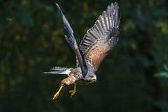 Harris Hawk in flight. A closeup image of a Harris Hawk in flight royalty free stock photography