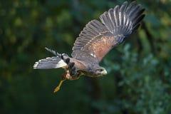 Harris Hawk in flight. A closeup image of a Harris Hawk in flight royalty free stock photo