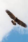 Harris Hawk in Flight Stock Images