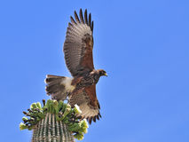Harris' Hawk in Flight Stock Images