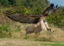 Harris Hawk In Flight. Raptor on display in Richmond BC Canada Royalty Free Stock Photos