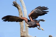Harris Hawk flying in desert. Harris hawk looking for prey in desert Stock Photography