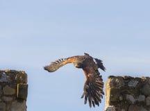 Harris Hawk flying. His scientific name is Parabuteo Unicintus Royalty Free Stock Image