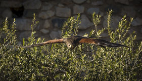 Harris Hawk flying. His scientific name is Parabuteo Unicintus Stock Photography