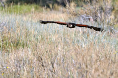 Harris' Hawk flying low over prairie grasslands Stock Photos