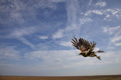 Harris Hawk flying in midair just after take off Royalty Free Stock Image