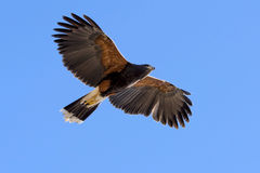 Harris Hawk in fright Stock Image