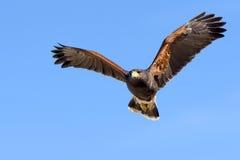 Harris Hawk in flight Stock Photo