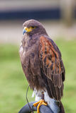 Harris hawk full body Stock Photo