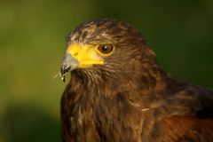 Harris hawk the only group hunter royalty free stock photography