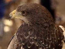 Harris Hawk - Harris Hawk Stockbild