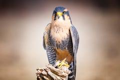 Harris Hawk. A harris hawk sitting on a tree royalty free stock photography