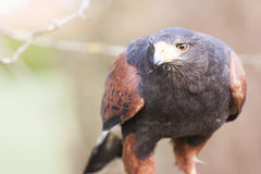 Harris hawk Royalty Free Stock Photography