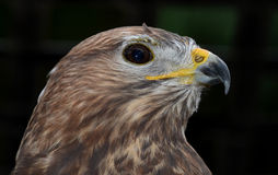 Harris Hawk - head close-up Stock Photos