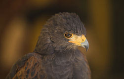Harris Hawk head Stock Photography