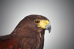 Harris Hawk Head shot side on view royalty free stock photography