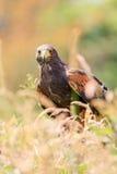 Harris Hawk-het verbergen in lang gras stock foto's