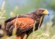 Harris Hawk-het verbergen in lang gras royalty-vrije stock afbeeldingen