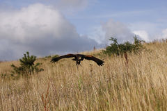 Harris Hawk hunting. Captive Harris Hawk in hunting mode over Heathland stock photo