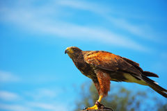 Harris Hawk hunting Royalty Free Stock Images