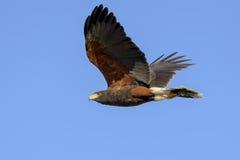 Harris Hawk i flykten Royaltyfri Fotografi