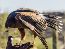 Harris Hawk i Tucson, Arizona Arkivfoto