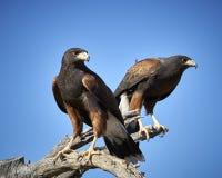 Harris Hawk i Tucson, Arizona arkivfoto